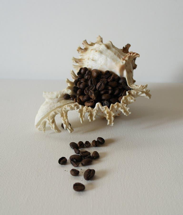 Rose Murex Shell Grões do Vênus do pente da concha do mar do café preto em um fundo branco fotos de stock royalty free