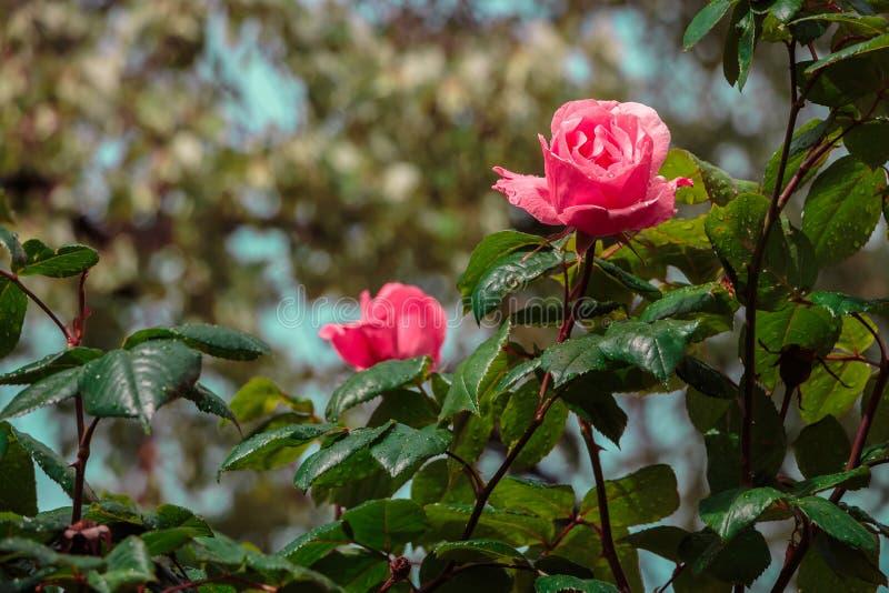Rose nach Regen lizenzfreies stockbild