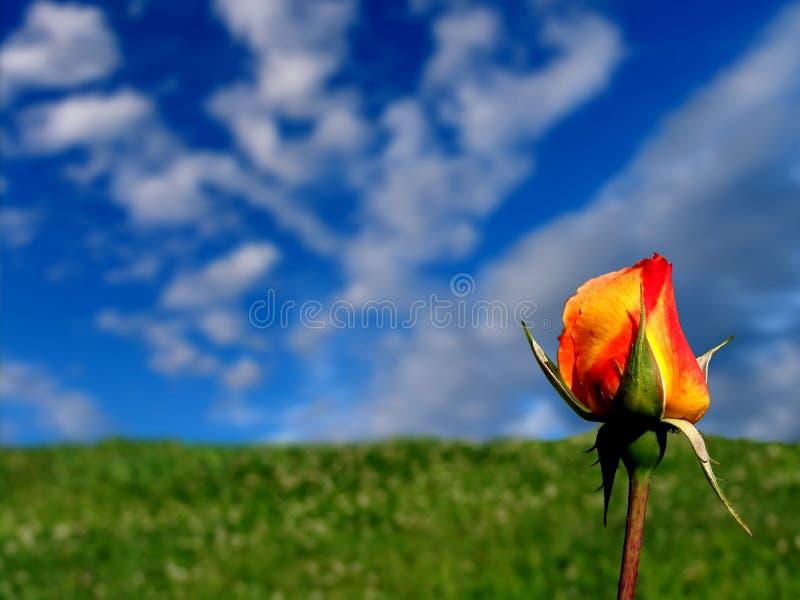 Rose naranja-amarilla fotos de archivo libres de regalías