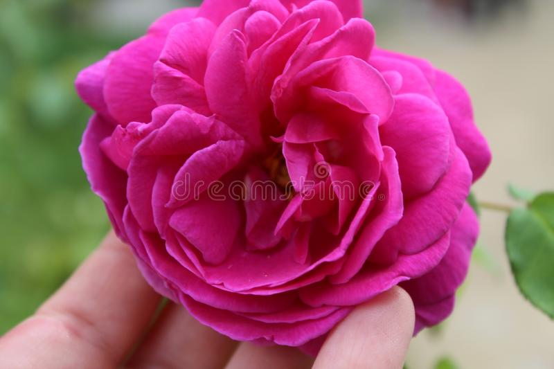 Rose nature verdure essonne france stock afbeelding