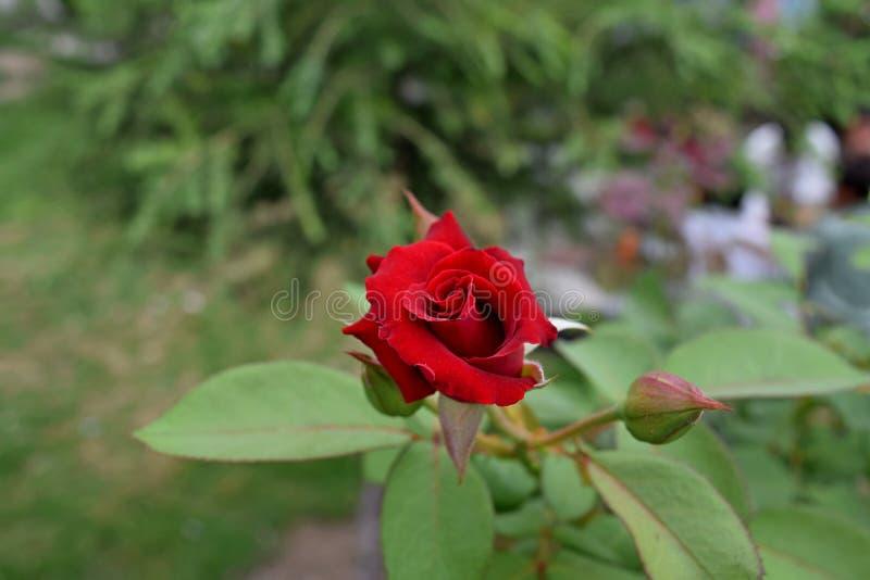 Rose naturelle de rouge images stock