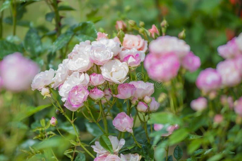 rose nel giardino delle rose rosa immagini stock libere da diritti