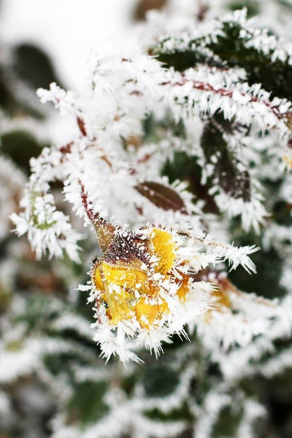 Rose nella neve Fiori nell'inverno immagine stock libera da diritti