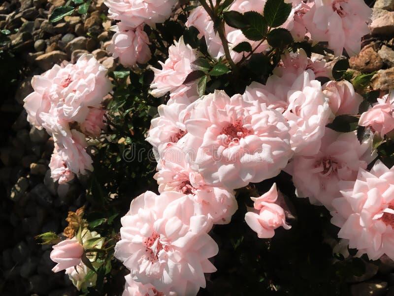 Rose nelle rocce immagine stock