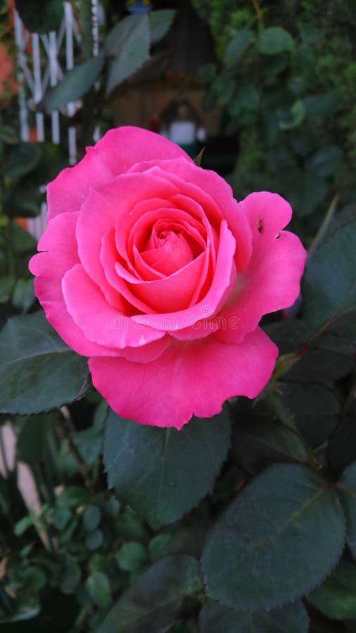 A rose royalty free stock photos