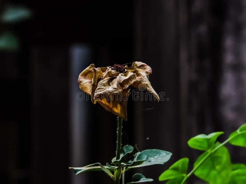 rose nie żyje obrazy stock