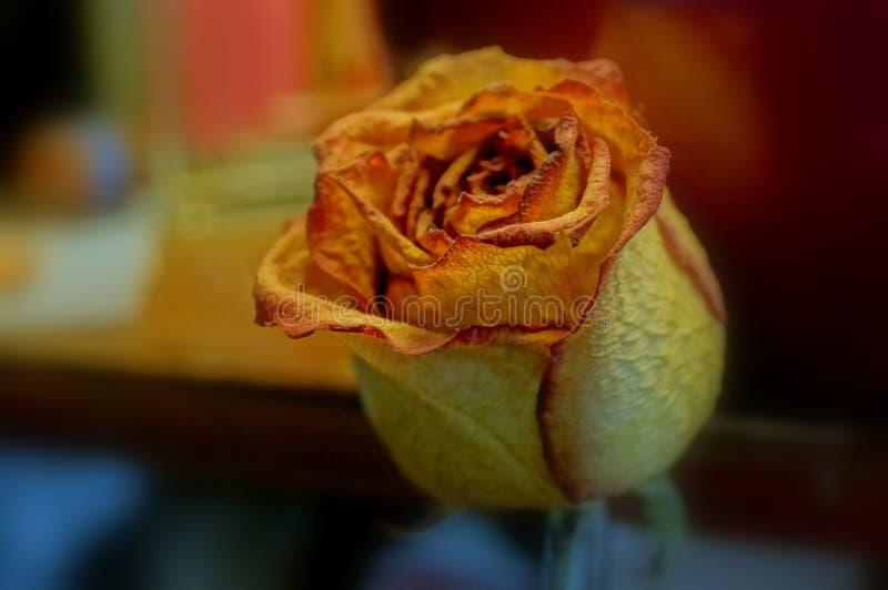 rose nie żyje zdjęcie royalty free
