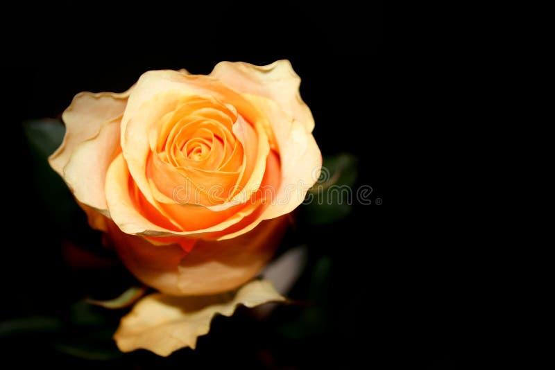 Rose at night stock image