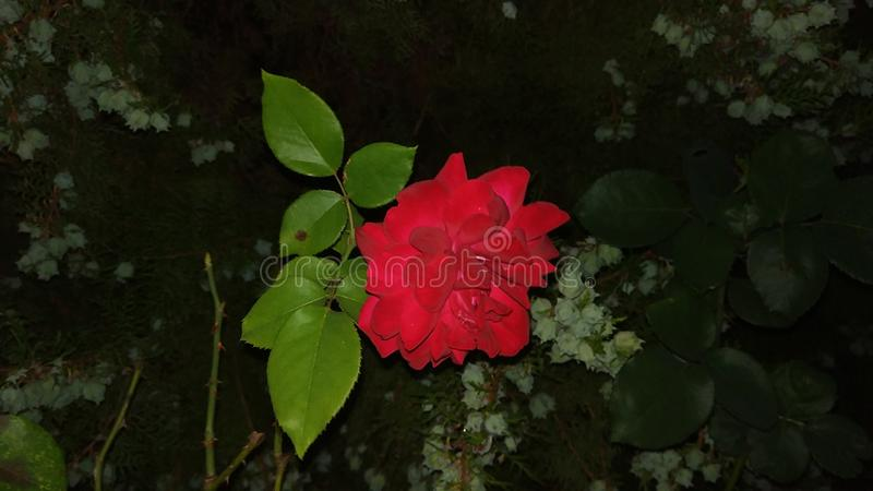 Rose in the night royalty free stock image