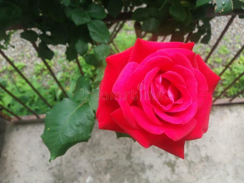 Rose no editing stock photography