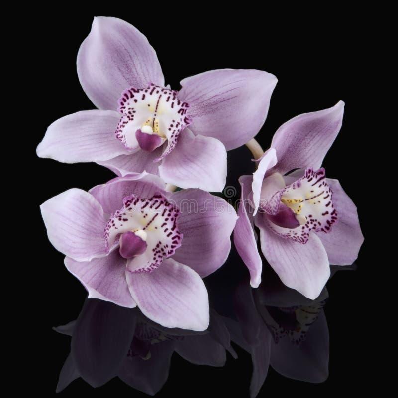 rose noir d'orchidées image stock
