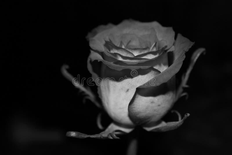 Rose noire et blanche photographie stock libre de droits