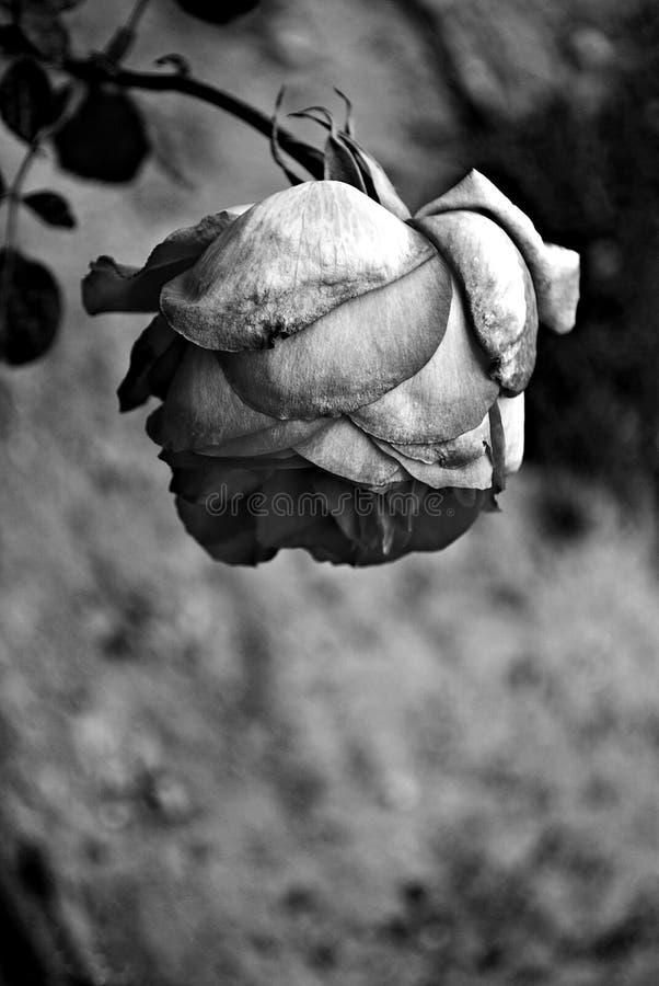 Rose noire et blanche image libre de droits