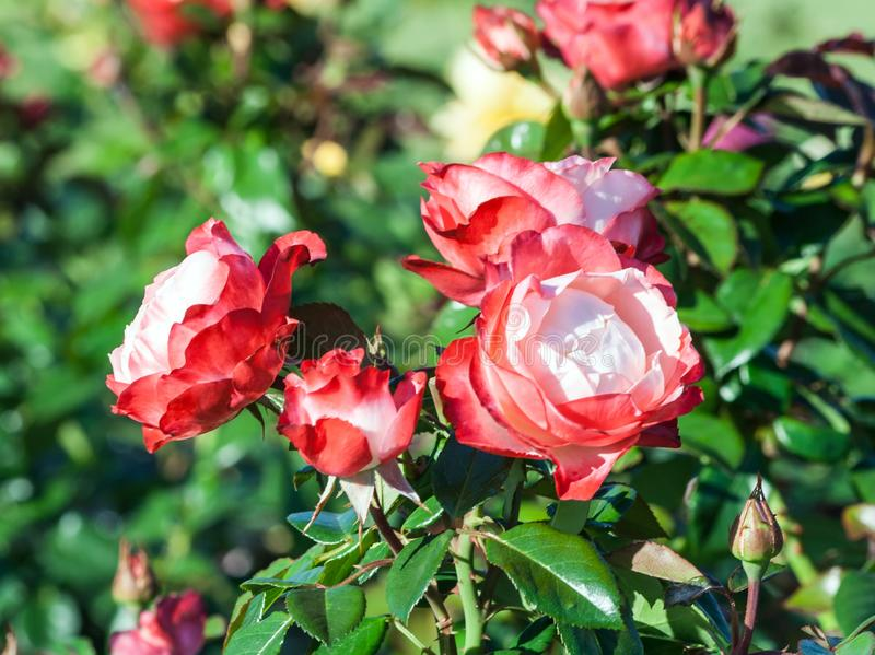 Rose nostalgie a bunch of tender white and red flowers. A red border at the tips of the petals, the plant grows in the garden, daylight, summer day, strong stock image