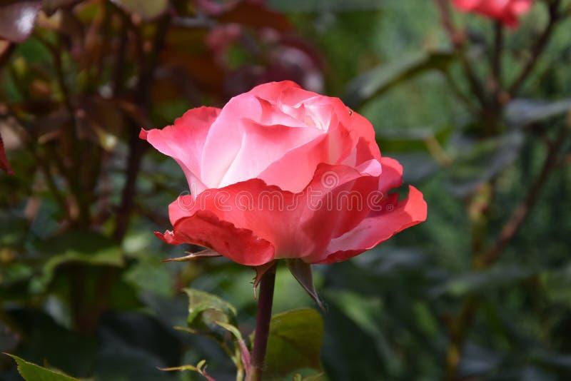 Rose Nostalgie. In garden, inside white outside red royalty free stock photos