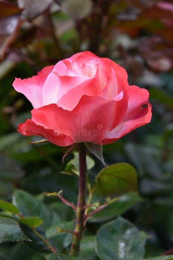 Rose Nostalgie. In garden, inside white outside red royalty free stock image