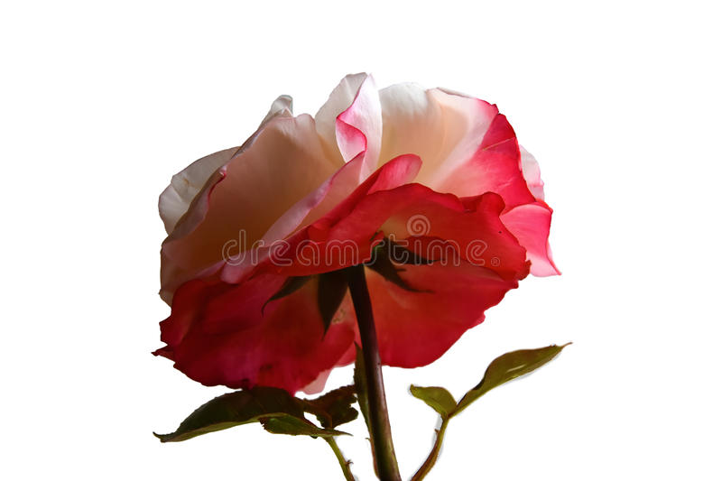 Rose Nostalgie. Wide open flower, inside white outside red isolated on white royalty free stock photos