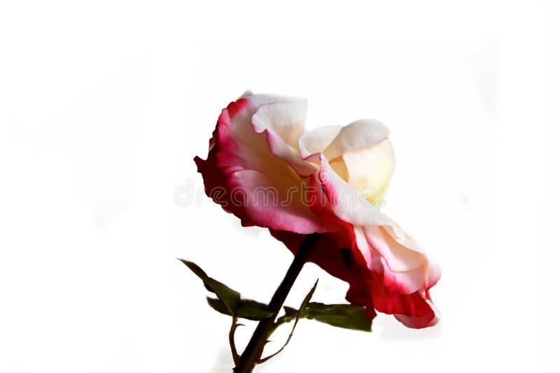 Rose Nostalgie. Wide open flower, inside white outside red isolated on white stock image