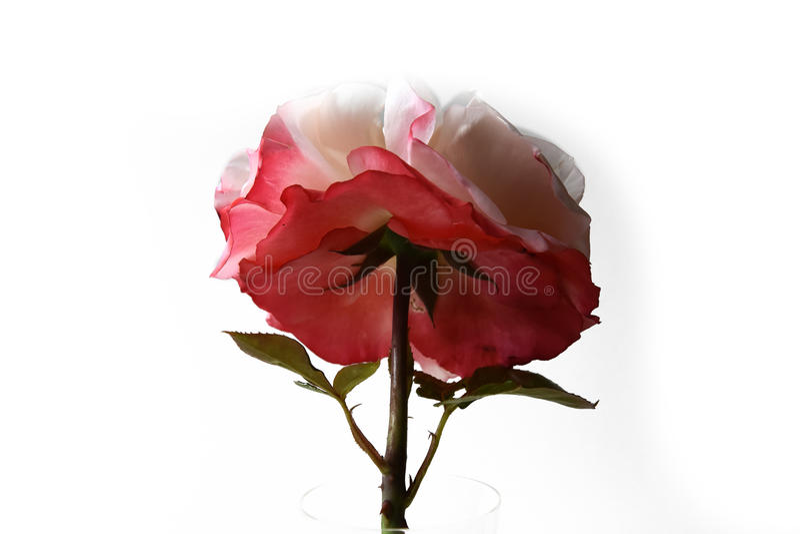 Rose Nostalgie. Wide open flower, inside white outside red isolated on white stock photography