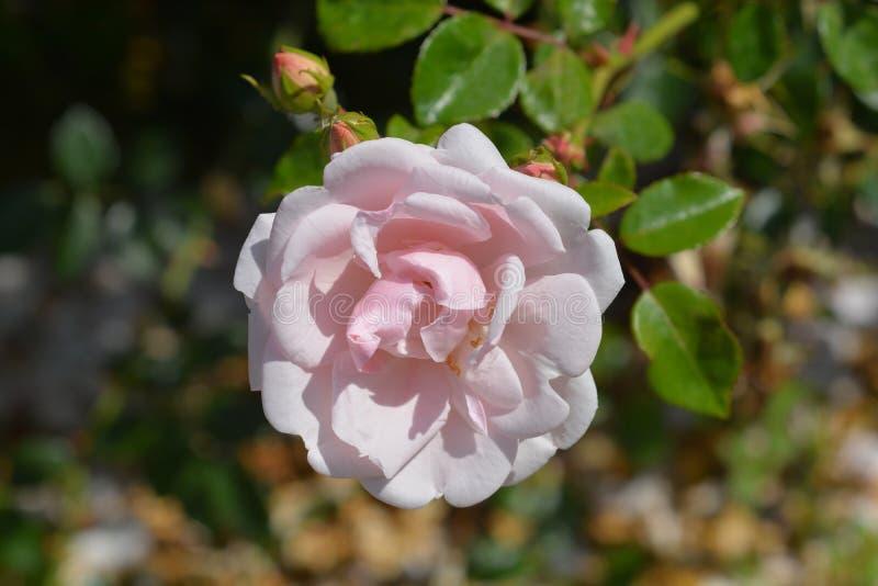 Rose Nowy Świt fotografia stock