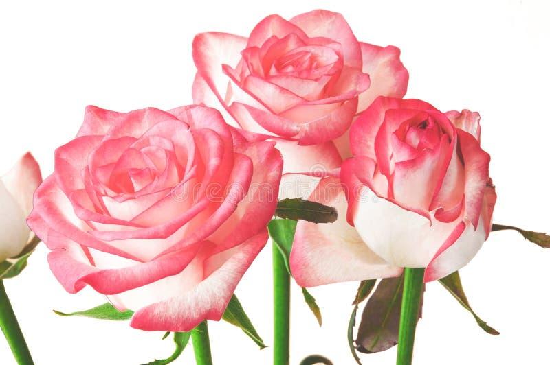 rose odosobnione white zdjęcie stock