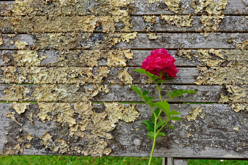 Rose on an old bench. In UK many things are old. The Rose brings a touch of novelty to this old bench full of lichens stock images