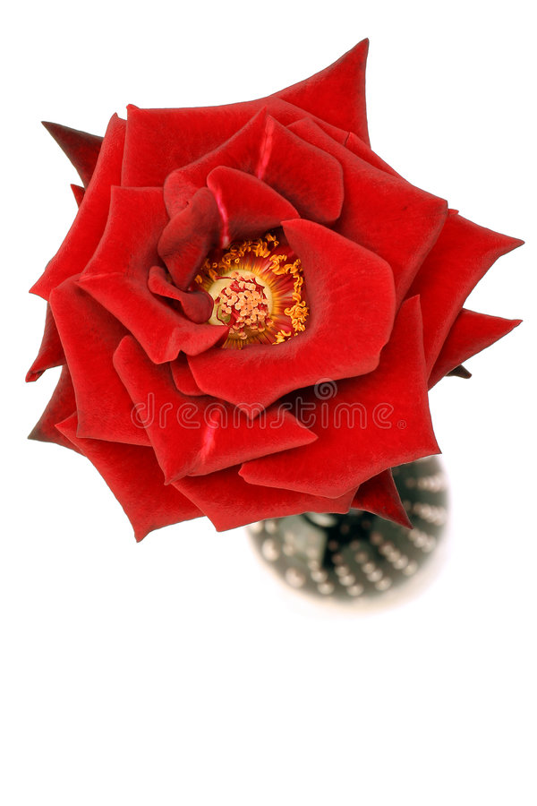 Free Rose On White Stock Photography - 341612