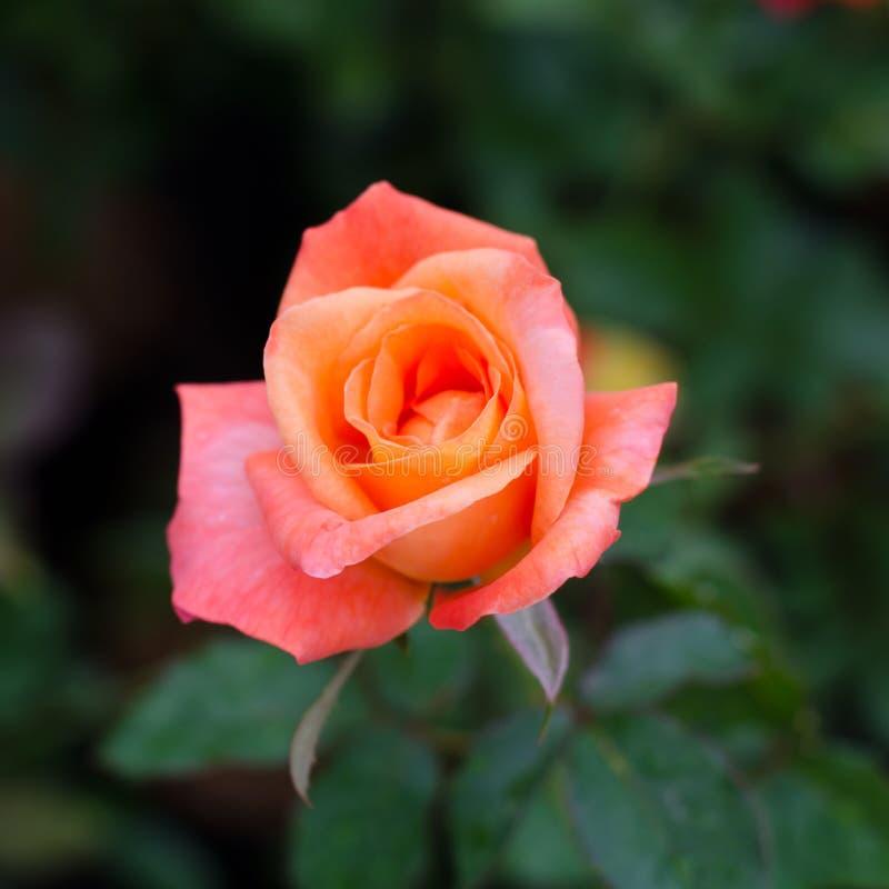 Rose orange images stock