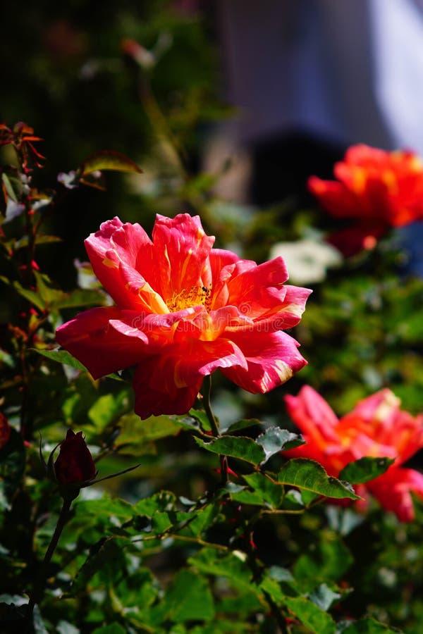 Rose orange photos libres de droits