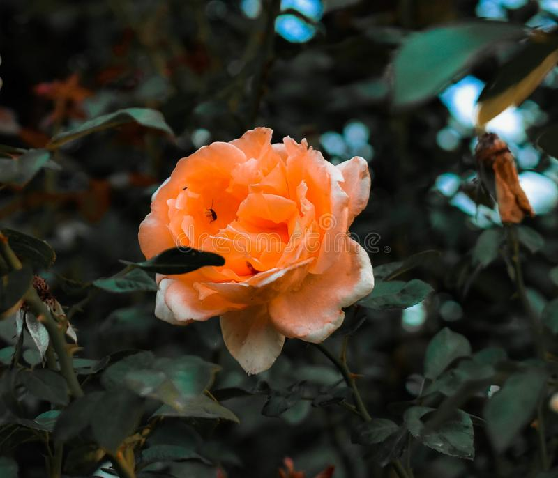 Rose Orange dans mon jardin photo stock