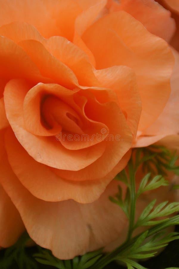 Rose, Orange, Rose Family, Flower stock photo