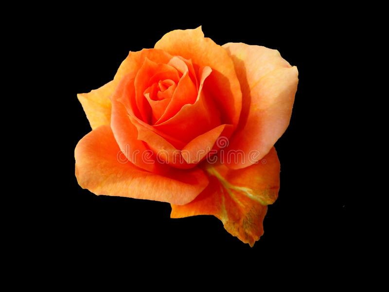 Rose, Orange, Rose Family, Garden Roses royalty free stock images