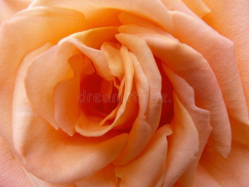 Rose, Orange, Flower, Rose Family stock photo