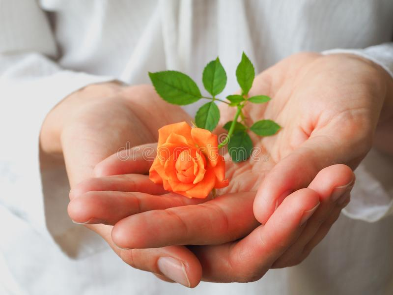Rose orange sur une paume du ` s de femme Le concept de la tendresse et de la santé du ` s de femmes photographie stock