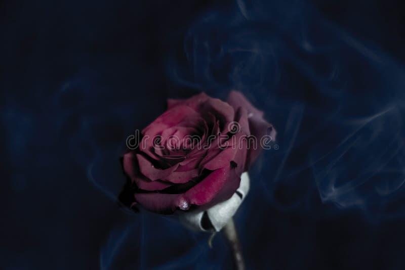 Rose oscura fotos de archivo