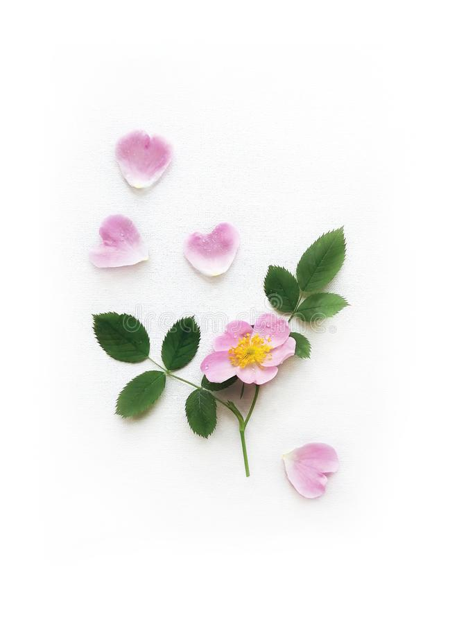 Rose, pétalos rosados y hojas salvajes aislados en una lona blanca, fondo con la sombra real Flores del jardín en marco imagenes de archivo