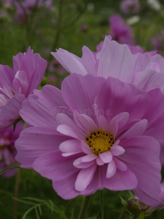 Rose pétillant 01 de bipinnatus de cosmos images libres de droits