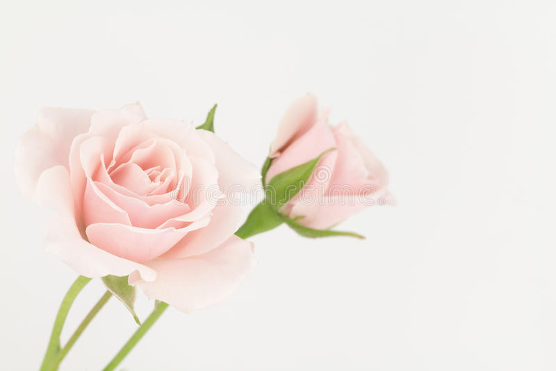Rose pallide di rosa pastello fotografia stock libera da diritti