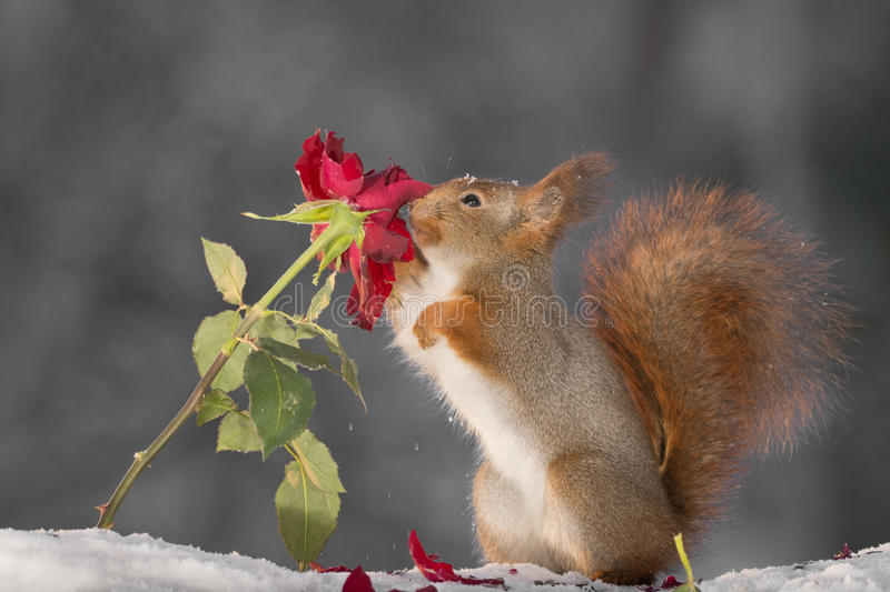 Download Rose passion stock photo. Image of stand, christmas, animal - 83701512