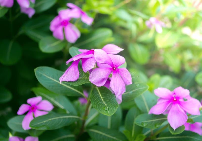 Rose Periwinkle roxa no jardim imagem de stock royalty free