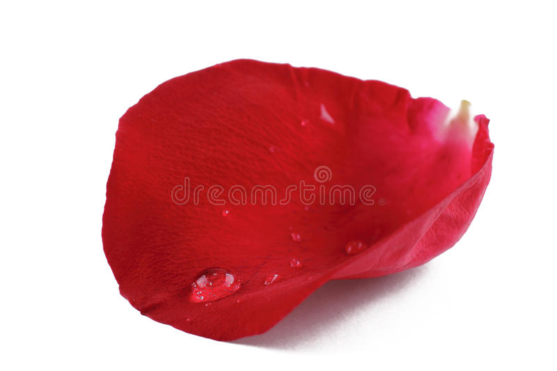 Rose petal. A rose petal and water droplet isolated in a white background stock photos