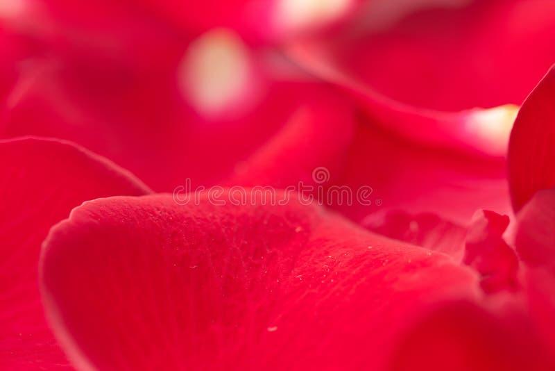 Download Rose petal stock photo. Image of bloom, bunch, gift, flora - 23279970