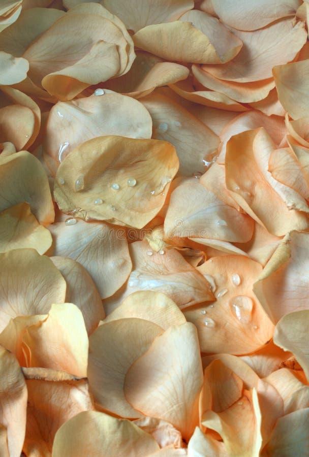 Rose Petal Background Stock Image