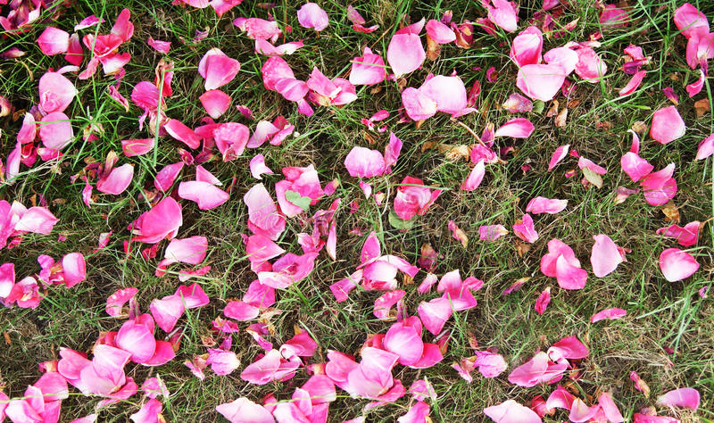 Rose petal background stock photography