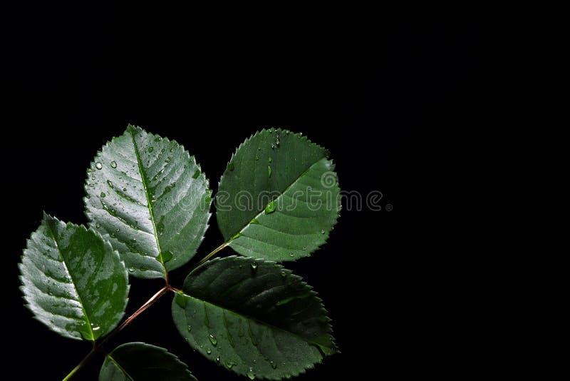 Rose petal in dark. In dark background royalty free stock images