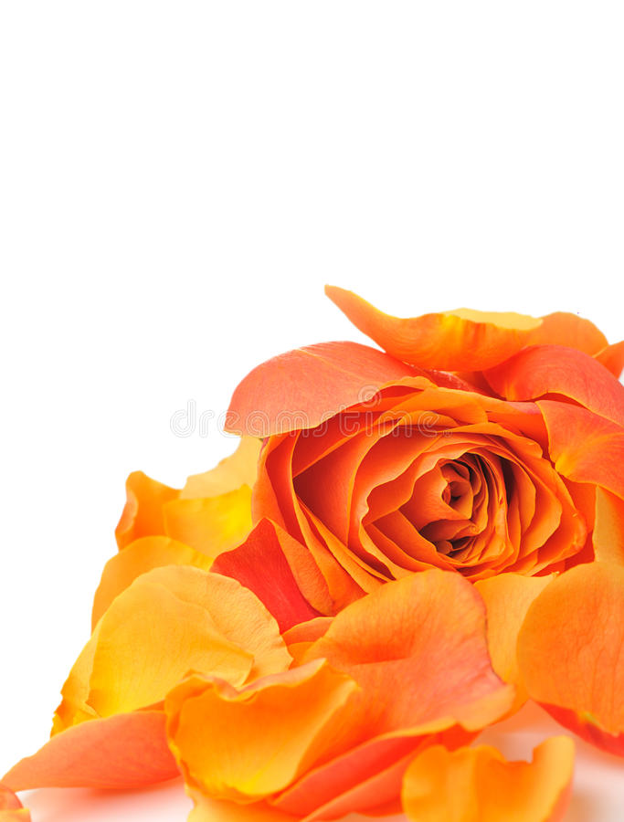 Download Rose With Petals Royalty Free Stock Image - Image: 11376496