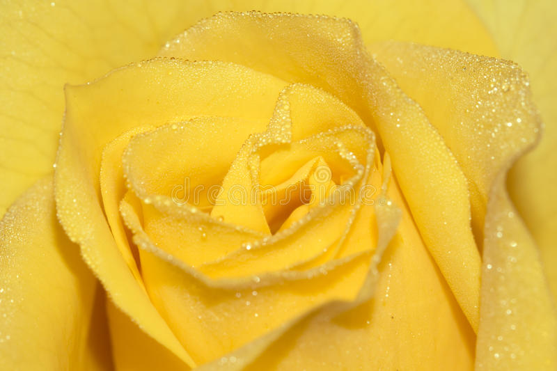 Download Rose petals stock image. Image of full, blossom, curves - 20907255