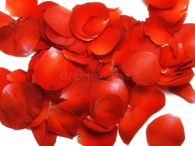 Download Rose petals stock image. Image of bloom, rose, floret - 22445665