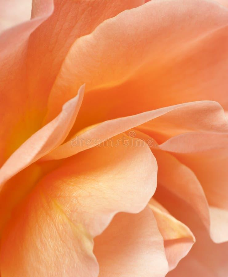 Download Rose petals stock image. Image of fragile, texture, flower - 24845925
