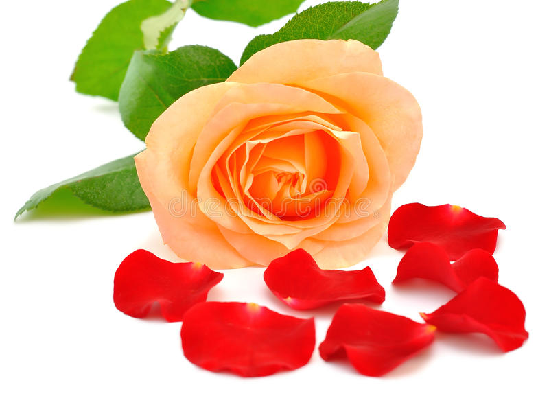 Download Rose and petals stock image. Image of green, rose, beauty - 26138449